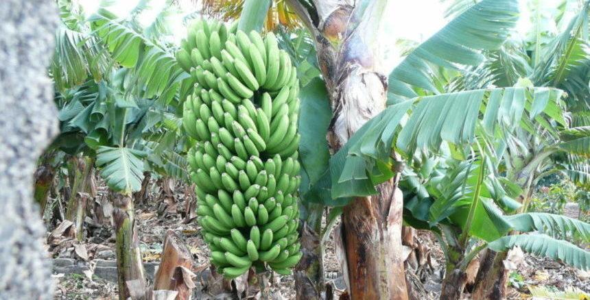 Coaching Reise La Palma - Bananenplantage